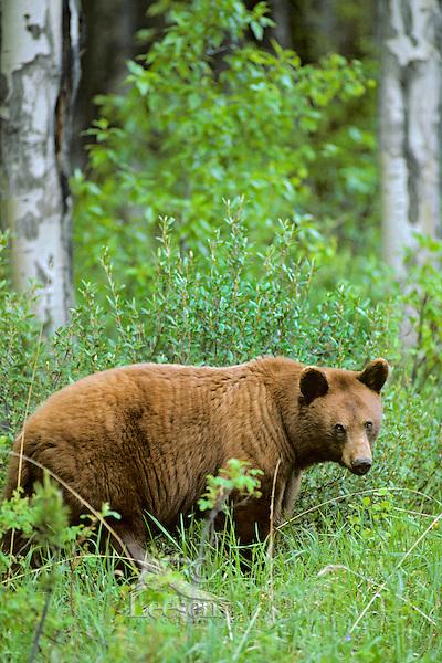 Cinnamon phase of Black Bear (Ursus americanus).  Brown or cinnamon coloration is common in the Rockies.  June.