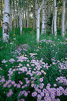 Showy daisy and aspens<br /> Ruby Range<br /> Gunnison National Forest<br /> Rocky Mountains,  Colorado