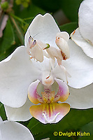 "1M24-504z  Malaysian Orchid Mantis Camouflaged on Orchid Flower - Hymenopus coronatus ""Nymph"" - © Dwight Kuhn Photography"