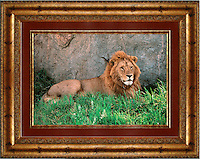 """Lion<br /> Image Size:  20"""" x 30""""<br /> Finished Frame Dimensions:  36"""" x 45""""<br /> Quantity Available: 1"""