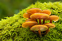 Velvet Shank / Winter Fungus {Flammulina velutipes}, growing on moss-covered dead tree. Park District National Park, UK. December. Focus stacked image.
