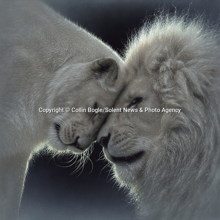 """NOTE FOR ONLINE:  MAXIMUM OF 10 IMAGES TO RUN ALONGSIDE THIS STORY - UNLESS OTHERWISE AGREED WITH A REVISED FEE IN PLACE.<br /> <br /> Pictured:  One of Collin Bogle's realistic paintings: White Lion Love<br /> <br /> These intricately detailed pictures of wild animals look like photographs - but are in fact paintings.  American artist Collin Bogle's extraordinary work portrays close up encounters with animals such as lions, snow leopards, wolves, eagles and bears.<br /> <br /> He uses photos of the animals as a reference and spends between two weeks and two months painstakingly creating each piece.  Mr Bogle, who works out of his home in Seattle, Washington, in the United States, said: """"My dad is an artist and was also a high school art teacher - so I started learning to paint as soon as I could hold a brush.  SEE OUR COPY FOR DETAILS.<br /> <br /> Please byline: Collin Bogle/Solent News<br /> <br /> © Collin Bogle/Solent News & Photo Agency<br /> UK +44 (0) 2380 458800"""