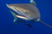 oceanic whitetip shark, Carcharhinus longimanus, and pilot fish, Naucrates ductor, Hawaii, Pacific Ocean (do)