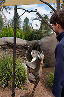 BNPS.co.uk (01202) 558833. <br /> Pic: ZacharyCulpin/BNPS<br /> <br /> Pictured: Keeper James Dennis. <br /> <br /> Keepers at a safari park are are using a novel method to weigh their koalas. <br /> <br /> Rather than attempt to get the adorable marsupials to stay still on a weighing machine, staff at Longleat Safari Park in Wiltshire use a set of scales attached to an adapted wooden branch, which the koalas happily hold on to.<br /> <br /> Weight is a key indicator of a koala's health and each individual animal has to be weighed twice a week to ensure they're in top condition.