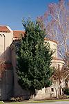 11429-CH Yew Podocarpus, Podocarpus macrophyllus, mature specimen beside church at Bakersfield, CA USA