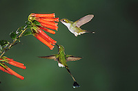 Booted Racket-tail (Ocreatus underwoodii), male and female feeding from flower,Mindo, Ecuador, Andes, South America