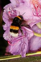 Dunkle Erdhummel, Bombus terrestris, Arbeiterin beim Blütenbesuch an Rhododendron, Nektarsuche, Bestäubung, buff-tailed bumble bee