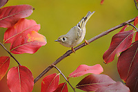 Ruby-crowned Kinglet (Regulus calendula), adult perched on fall color branch of Crape myrtle (Lagerstroemia indica), New Braunfels, Hill Country, Central Texas, USA