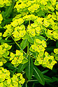 Euphorbia cornigera, end June.