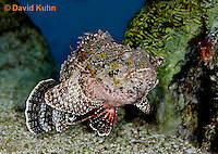 "0109-08tt  Spotted Scorpionfish ""Venomous Spines on Fish"" - Scorpaena plumieri  © David Kuhn/Dwight Kuhn Photography"