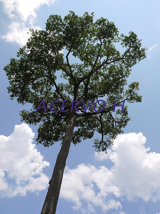 Castanheira na reserva Chico Mendes.<br /> A Bertholletia excelsa, popularmente conhecida como castanha-do-pará, castanha-do-acre, castanha-do-brasil, tocari e tururi é uma árvore de grande porte, muito abundante no norte do Brasil e na Bolívia, cujo fruto (ouriço) contém a castanha, que é sua semente1 É uma árvore da família botânica Lecythidaceae, nativa da Floresta Amazônica.<br /> Foto Eric Stoner<br /> Xapurí, Acre, Brasil.<br /> 2011