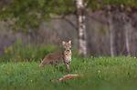 Bobcat approaching a dead fawn in a northern Wisconsin field