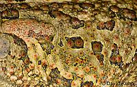 0602-0903  Fowler's Toad, Close-up of Skin and Warts, Anaxyrus fowleri [syn: Bufo fowleri (Bufo woodhousii fowleri)]  © David Kuhn/Dwight Kuhn Photography