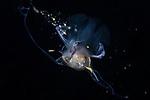 Cavolinia uncinata, Pterapod Cavolinia with dinoflagellates, Visayas, Cogon