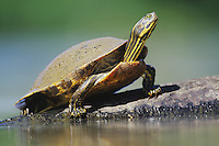 Yellow-bellied Slider (Trachemys scripta scripta), adult on log sunning, Neuse River, Raleigh, Wake County, North Carolina, USA