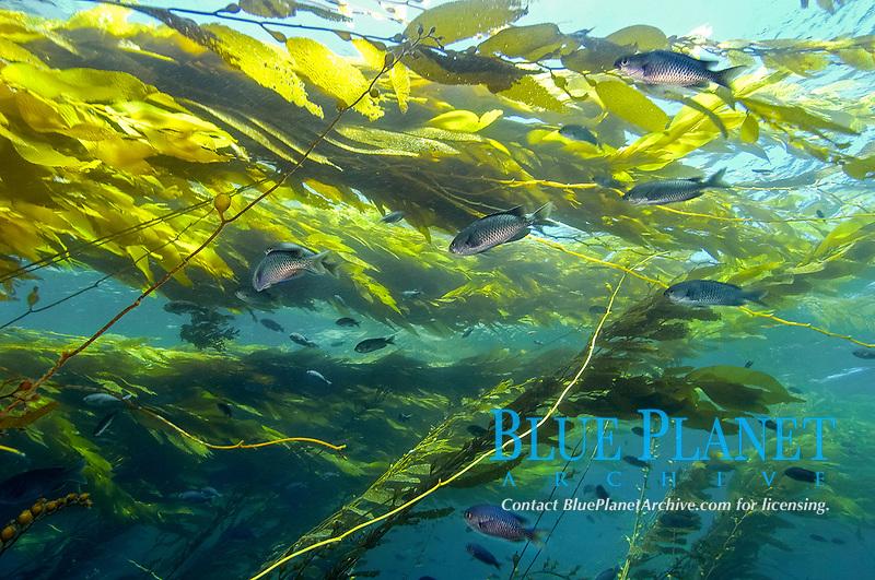 Blacksmith, Chromis punctipinnis, swimming in kelp, Macrocystis pyrifera, Catalina Island, California, USA, Pacific Ocean