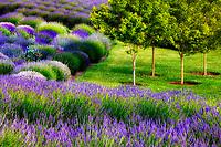 Jardin du Soleil lavendar farm. Washington