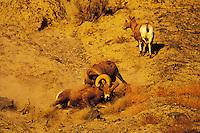 California Bighorn Sheep rams battling for mating rights.  Western N.A.  Fall rut.