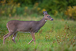A white-tailed doe walking in an autumn field in northern Wisconsin.