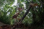 Giant Deaf-Leaf Mantis (Deroplatys desiccata)  in riverine forest, Kinabatangan River, Sukau, Sabah, Borneo.