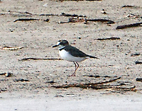 Male collared plover