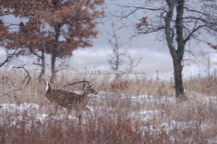 00275-193.02 White-tailed Deer (DIGITAL) doe is trotting with tail raised across large meadow during as snow storm.  H3R1