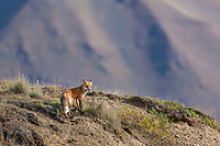 Red fox overlooks the tundra of Denali National Park, Interior, Alaska.