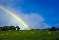 Dairy cows graze with a rainbow behind in Olinda, Maui.