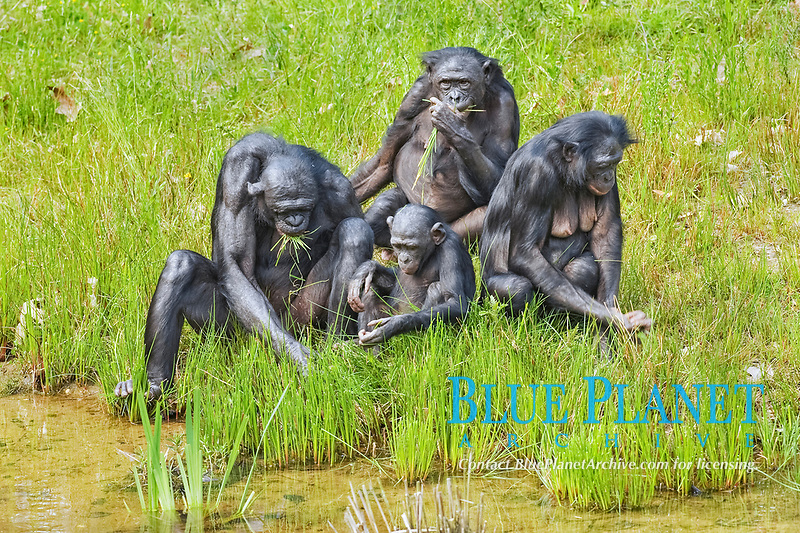 Bonobo (Pan paniscus), family group, adults and young, feeding on leaves at edge of water, captive