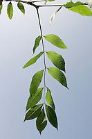 Gewöhnliche Esche, Blatt, Blätter vor blauem Himmel, Fraxinus excelsior, Common Ash