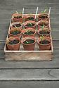 Chilli pepper seedlings in terracotta pots.