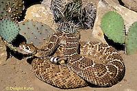 1R15-014b  Western Diamondback Rattlesnake - Crotalus atrox