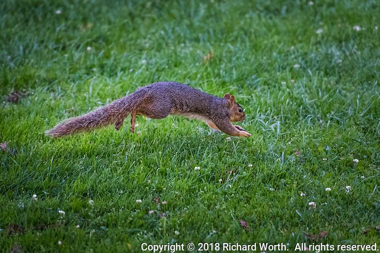 An Eastern Fox Squirrel, in mid-leap, bounding through the grass at the San Leandro Marina Park along San Francisco Bay.