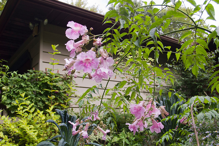 Podranea ricasoliana Pink Delight, aka Pandorea, tropical vining shrub, showing pink flowers at terminal ends of branches, looking upward, house, garden scene
