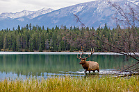 Rocky Mountain Elk Bull (Cervus canadensis nelsoni).  Northern Rockies.  October.