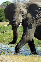 Close up of a front view of African Bull Elephant crossing a stream in the Okavango Delta. Close up of a front view of African Bull Elephant crossing a stream in the Okavango Delta, Botswana Africa.
