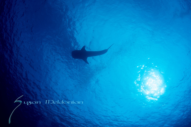 Whale Shark silhouetter at surface