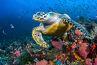 A Hawksbill Turtle, Eretmochelys imbricata, cruises over a coral-covered substrate, Komodo Marine National Park, Indonesia, Pacific Ocean