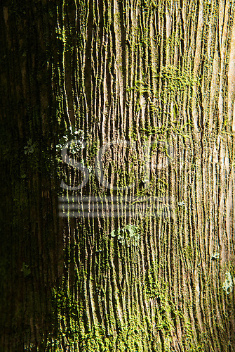 Fazenda Bauplatz, Brazil. Atlantic Forest tree bark with moss and lichen.