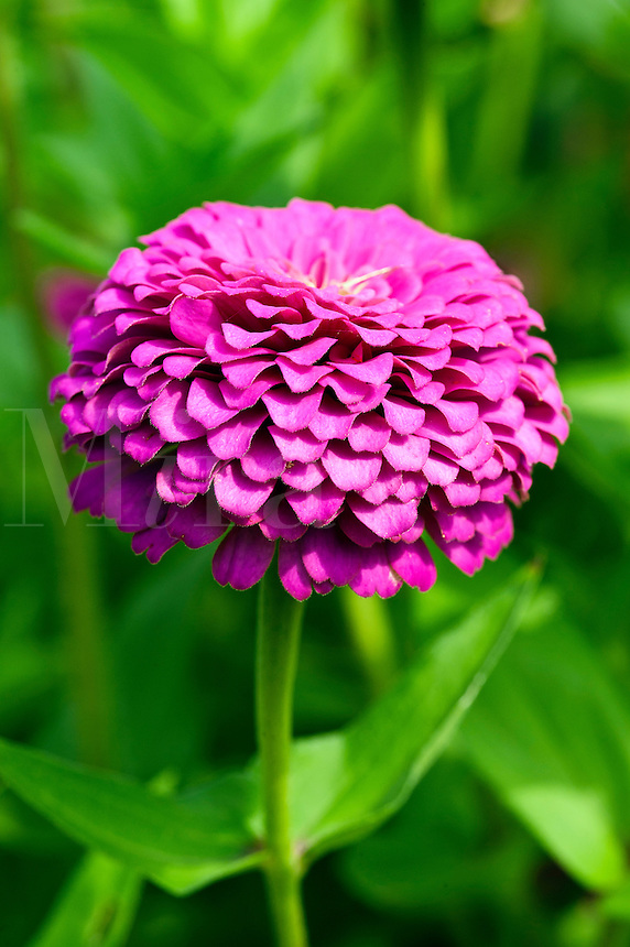 Zinnia flower in bloom.