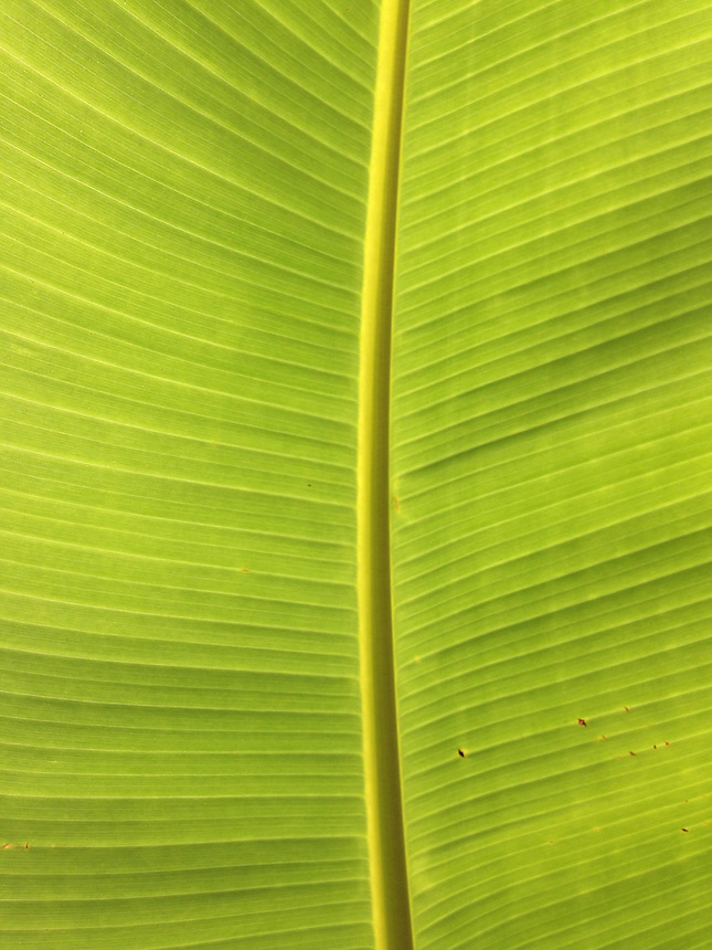 Leaf Detail, Iao Valley State Park, Maui, Hawaii, US