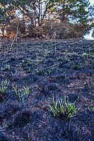 Grass resprouting, California native landscape, recovery after 2017 Sonoma  fires, Pepperwood Preserve