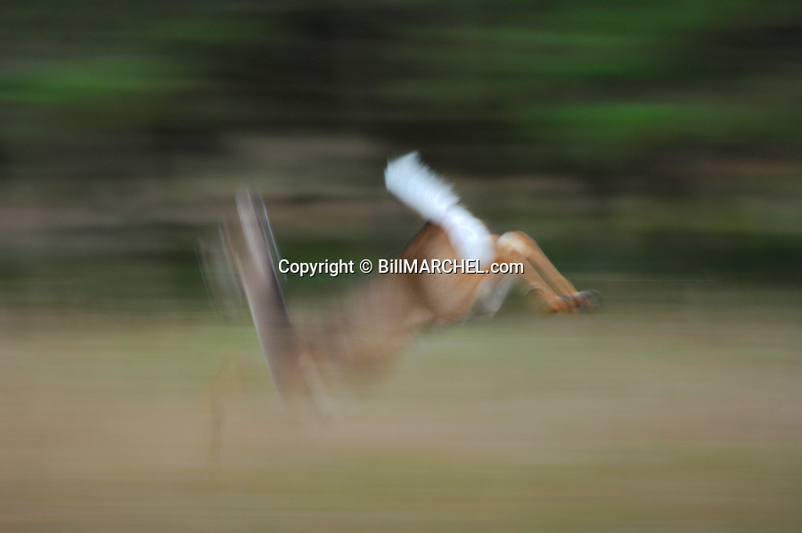 00275-192.10 White-tailed Deer (DIGITAL) doe shows motion blur as it bounds with tail raised across meadow.  Action, hunting.  H4L1