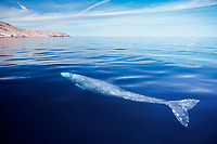 subadult gray whale, Eschrichtius robustus, surfacing off Isla Salsipuedes, Baja, Mexico (Pacific Ocean)