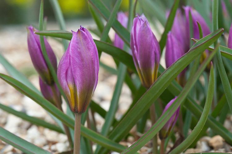 Dwarf tulip (Tulipa humilis), early March.