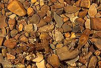 1Y06-062z  Crayfish - camouflaged