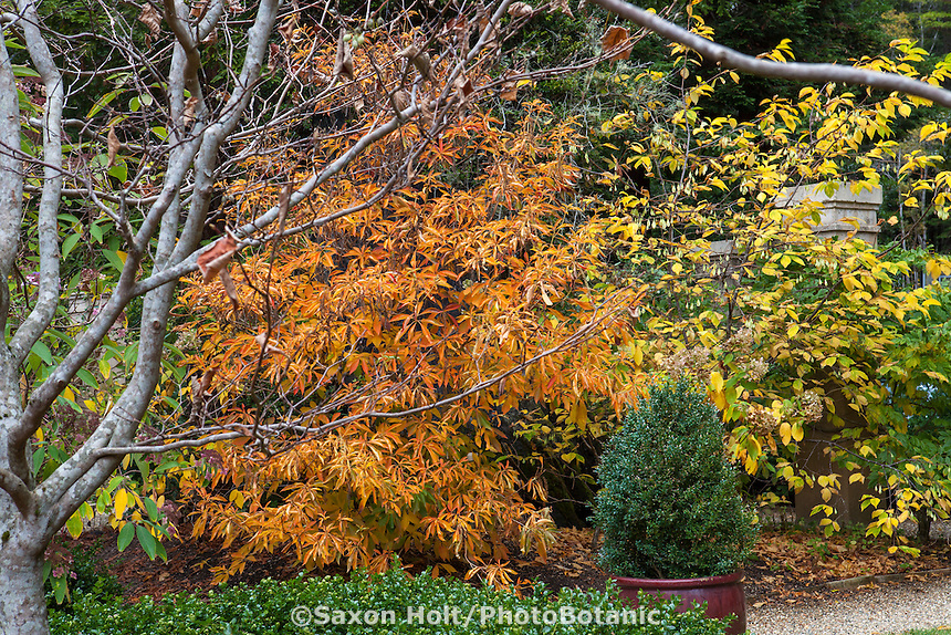 Orange fall foliage of Clethra barbinervis, Japanese clethra, with Halesia monticola in Gary Ratway garden.
