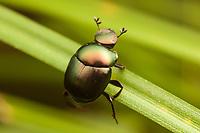 Dung Beetle (Canthon viridis)
