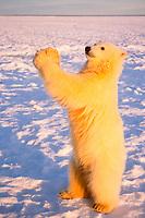 polar bear, Ursus maritimus, cub standing on the pack ice, 1002 coastal plain of the Arctic National Wildlife Refuge, Alaska, polar bear, Ursus maritimus