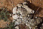 Snow Leopard (Panthera uncia) scat, about four months old, Pikertyk, Tien Shan Mountains, eastern Kyrgyzstan